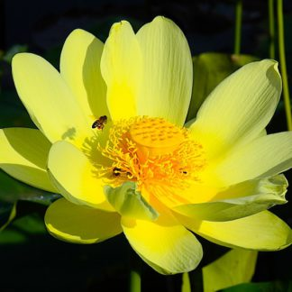 лотос желтый