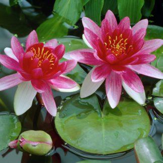 Кувшинка красная аттракцион с цветами -АКЦИЯ- (40-70 см)