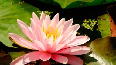 розовая кувшинка
