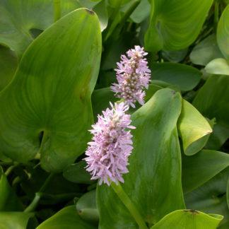 Понтедерия розовая (клубень)