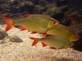рыба в пруд красноперка