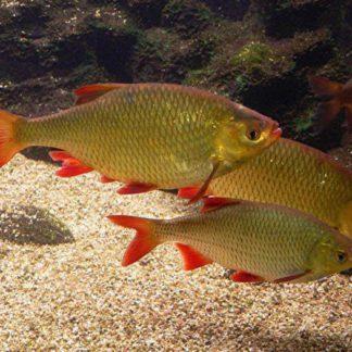 Краснопёрка крупная - (12-15 см) полезная рыба для пруда