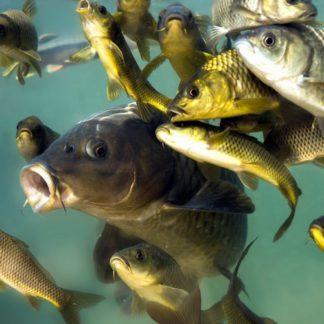 Промысловая рыба для пруда