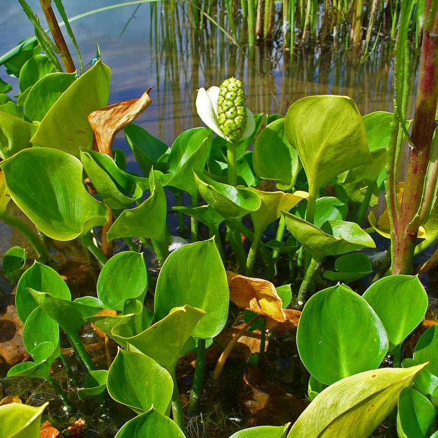 Белокрыльник болотные каллы для водоёма