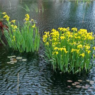 Ирис болотный для водоёма