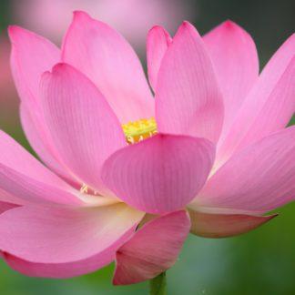 Лотос розовый (Nelumbo pink) клубень