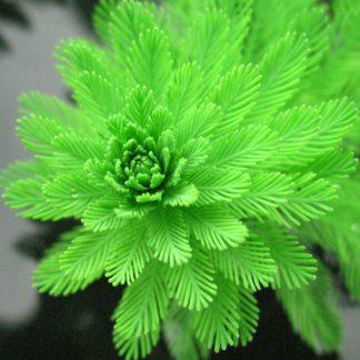 Подводные растения для пруда