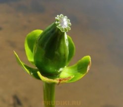 плод кубышки