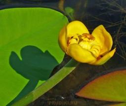 кубышка ароматная цветок