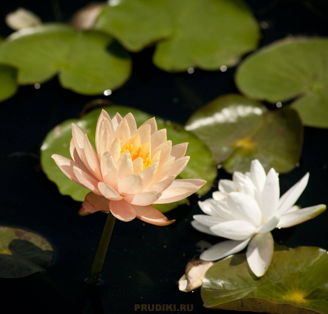 Кувшинки или водные лилии - Лучшие растения для украшения водоёма! Как сажать водные лилии?