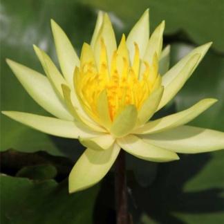 Кувшинка лимонная c цветами (50-70 см)