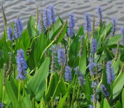 околопрудное растение цветущее
