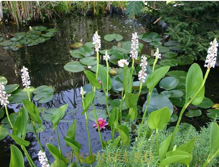 Вредные водоросли в пруду, эффективная борьба с мутной зеленой водой, цветение воды в пруду!