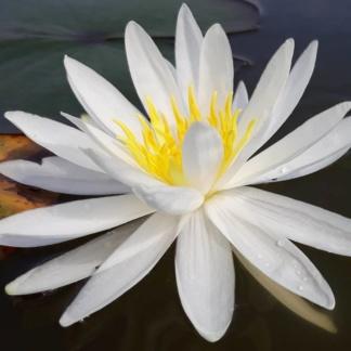 Кувшинка вирджиния белая водная