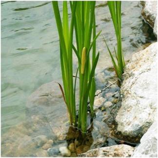 Аир болотный злаковый