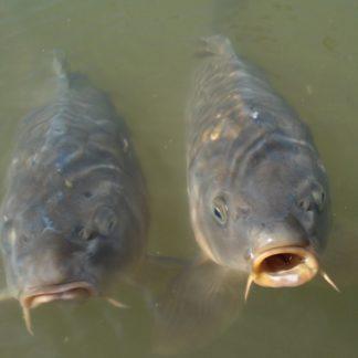 рыба для пруда карп