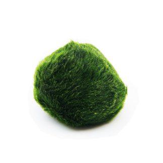 Кладофора шаровидная мал. (Ø 3-4 см)