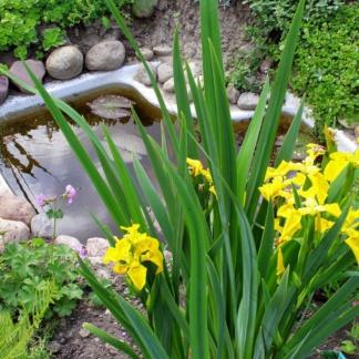 Ирис желтый цветение