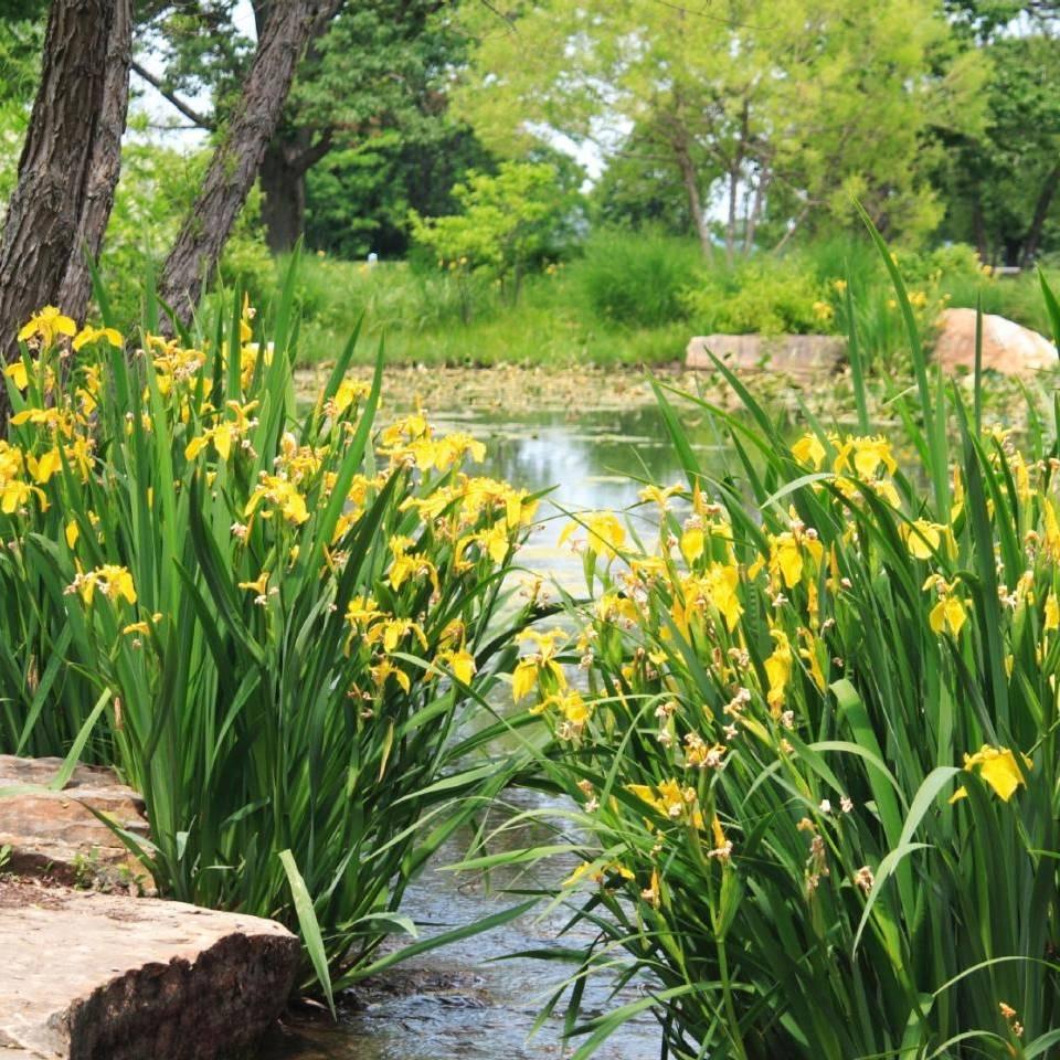 Ирис жёлтый болотный для декорирования пруда