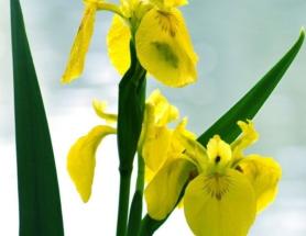 ирис желтый болотный