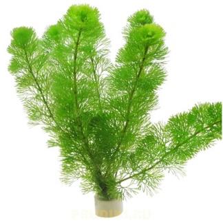 Кабомба водная, может расти в водоёме