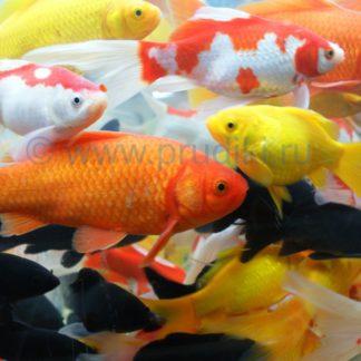 цветные рыбы в пруд