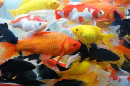 Карась крупный красно-белый (20-25 см)
