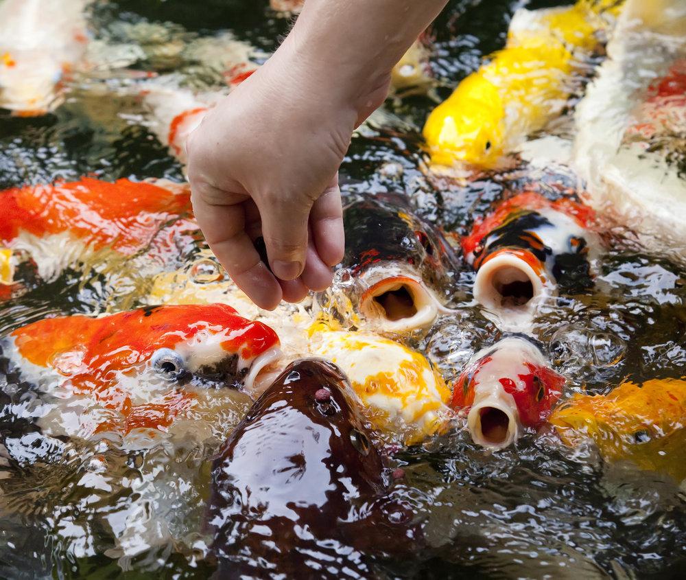Чем кормить рыб в пруду?
