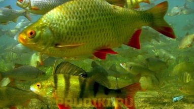 полезная рыба для пруда красноперка