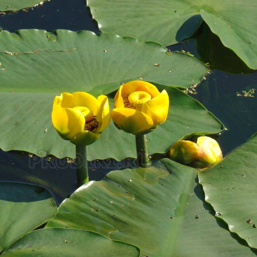 Водные растения какие купить? Растения для пруда и водоемов любых размеров