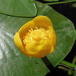 цветы кубышки в пруду