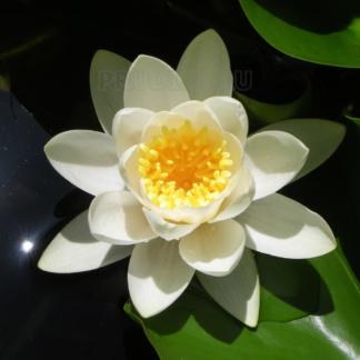 Кувшинка белая крупная -АКЦИЯ- (60-90 см)