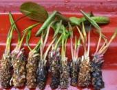 lilii-dlya-pruda-rasprodaja