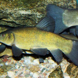 Линь крупный (35-40 см)