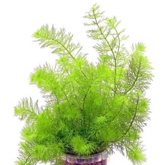 Перестолистник полезное подводное растение