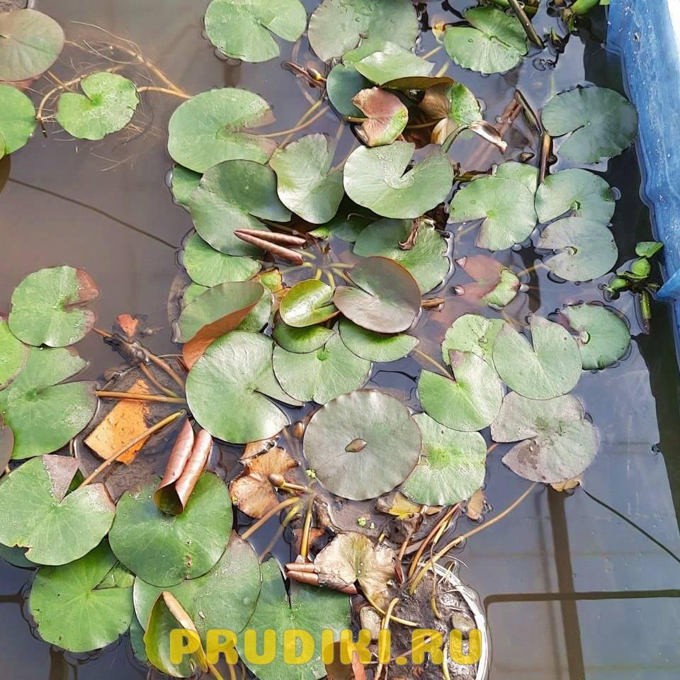 Белая лилия кувшинка из питомника для водоёма