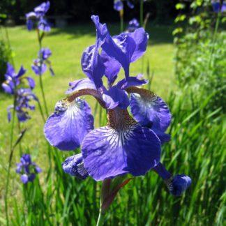 Ирис синий болотный - 3 шт