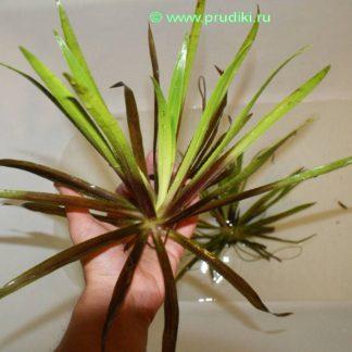 Водная пальма - супервыносливое растение!