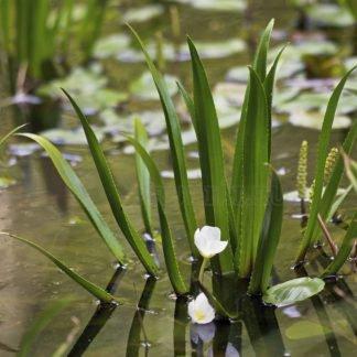 Выносливое растение для пруда - плавающее на поверхности пруда