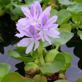 плавающее растение для очистки водоема