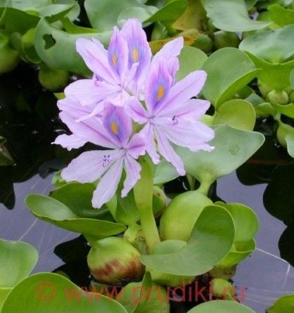 Водные растения какие купить? Правильный выбор растений для пруда и водоемов любых размеров!