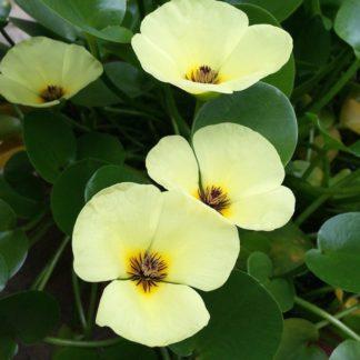 водокрас цветки