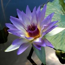 water-lilies-golubaya3