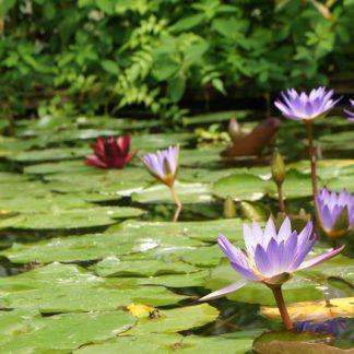 Цветущие водные лилии