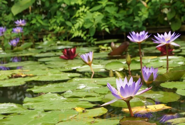 Какие водные растения купить и выбрать и как посадить их в пруду?