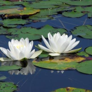 Белая лилия нимфея альба