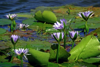 water-lily-prudiki.ru