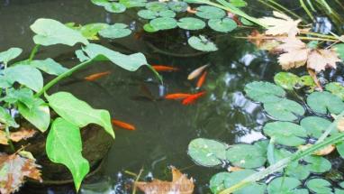 растения и рыба в искусственном пруду