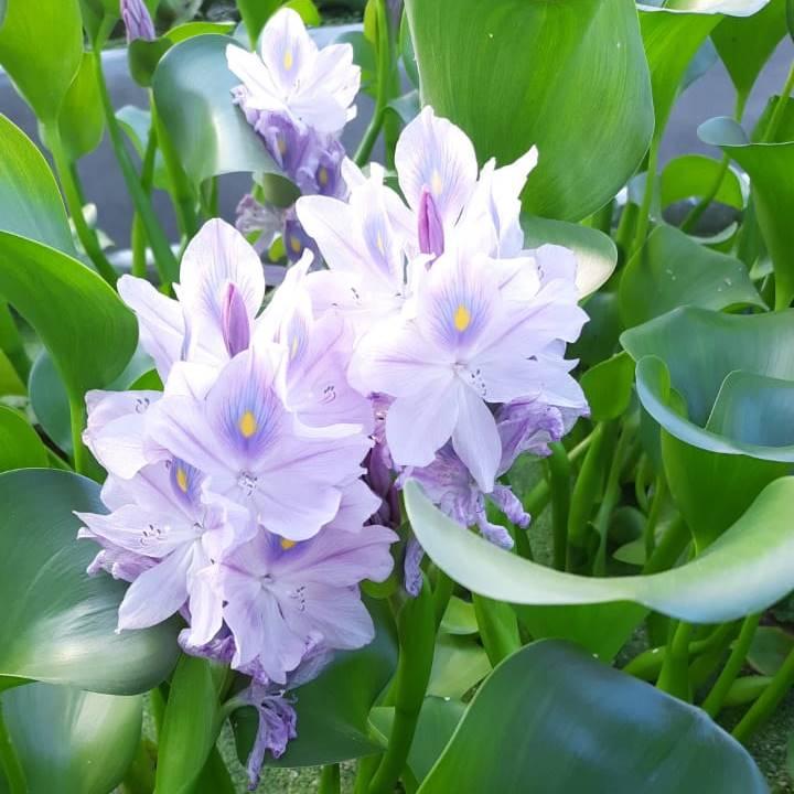 Купить хороший водный гиацинт для очищения воды в прудах