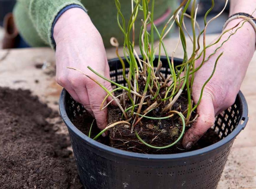 Посадка в грунт прудовых растений
